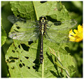 Common Clubtail (Gomphus vulgatissimus) - male, River Rother, West Sussex, June 2018