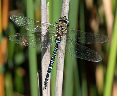 A Photographic Guide to the Dragonflies and Damselflies of Kent: Migrant Hawker &emdash;